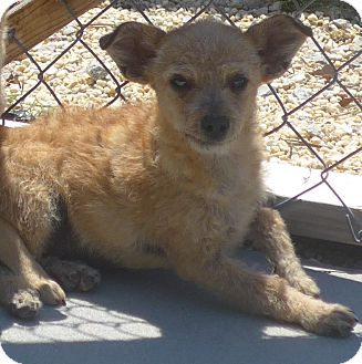 Terrier (Unknown Type, Small)/Maltese Mix Dog for adoption in Manning, South Carolina - Scruffy