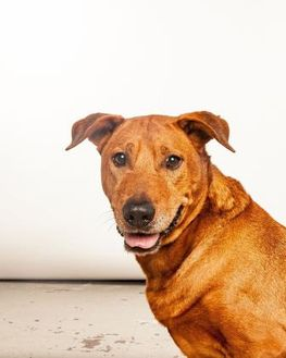 Rhodesian Ridgeback/Shar Pei Mix Dog for adoption in Houston, Texas - Rusty