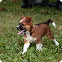 Adopt A Pet :: PUPPY BERNARD - Hagerstown, MD