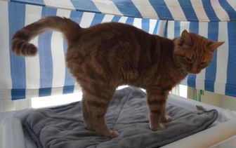 Domestic Shorthair/Domestic Shorthair Mix Cat for adoption in Eagle River, Wisconsin - Ohio