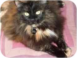 Domestic Longhair Cat for adoption in Pasadena, California - Chela