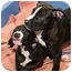Photo 1 - American Staffordshire Terrier Mix Puppy for adoption in Berkeley, California - Sweetpea