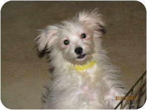 Havanese Puppy for adoption in Manteno, Illinois - Angie