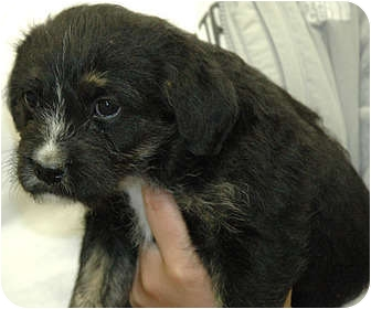 Terrier (Unknown Type, Medium)/Labrador Retriever Mix Puppy for adoption in Ripley, Tennessee - Jazzy