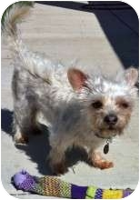 Terrier (Unknown Type, Small) Mix Dog for adoption in Los Angeles, California - RUMO