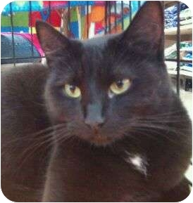 Domestic Shorthair Cat for adoption in Modesto, California - Sissy