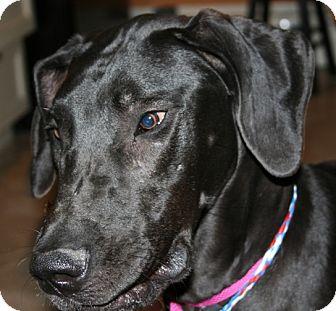 Great Dane Dog for adoption in Phoenixville, Pennsylvania - Ebony