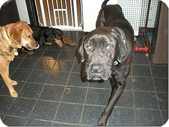 Labrador Retriever/Great Dane Mix Dog for adoption in Homewood, Alabama - Bear