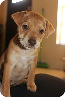 Terrier (Unknown Type, Small) Mix Puppy for adoption in Miami, Florida - Cinderella