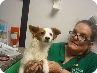 Papillon/Chihuahua Mix Puppy for adoption in Greencastle, North Carolina - Buster