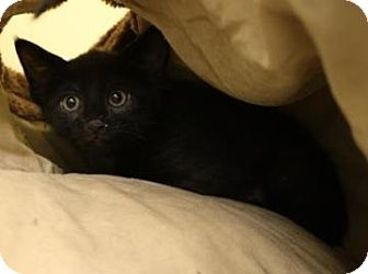 Domestic Shorthair Kitten for adoption in West Des Moines, Iowa - Twizzler