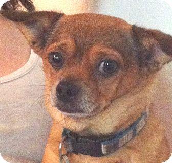 Chihuahua Mix Dog for adoption in Orlando, Florida - Poncho