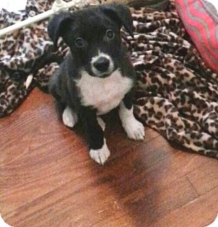 Border Collie Mix Puppy for adoption in Houston, Texas - Buddy