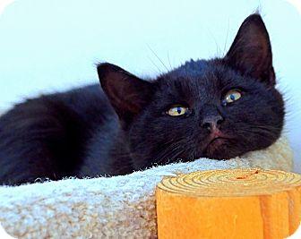 Domestic Shorthair Kitten for adoption in Victor, New York - Scottie