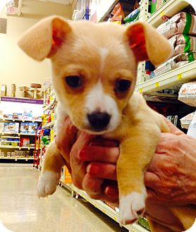 Chihuahua/Boston Terrier Mix Puppy for adoption in Brea, California - BUDDY