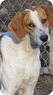 Treeing Walker Coonhound Dog for adoption in Richmond, Virginia - Annabelle