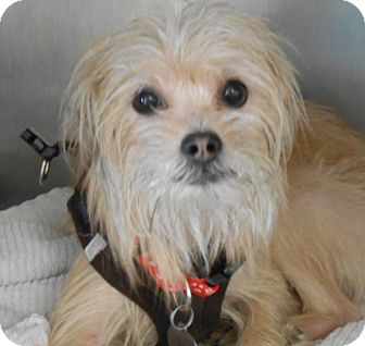 Yorkie, Yorkshire Terrier/Maltese Mix Dog for adoption in Englewood, New Jersey - Patrick