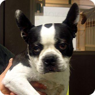 Boston Terrier Dog for adoption in Greencastle, North Carolina - Barney