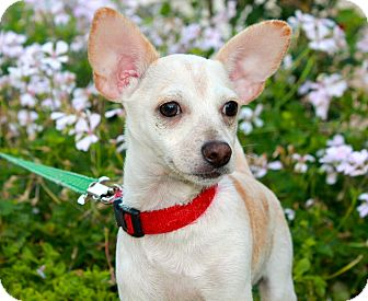 Chihuahua Mix Puppy for adoption in Los Angeles, California - Ficus - 5lbs