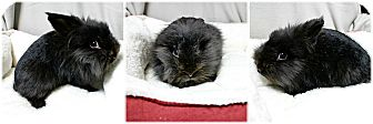 Lionhead Mix for adoption in Forked River, New Jersey - Jasmine