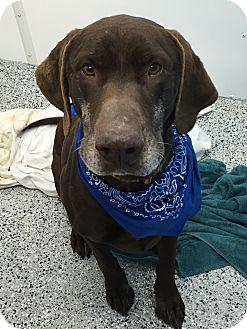 Labrador Retriever/Pointer Mix Dog for adoption in Farmington, Minnesota - BEAR