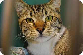 Domestic Shorthair Cat for adoption in Twin Falls, Idaho - Pico de Gato