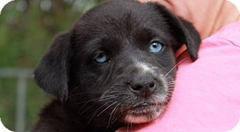 Shepherd (Unknown Type) Mix Puppy for adoption in Barnegat, New Jersey - Tinkerbell