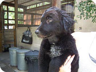 Labrador Retriever/Blue Heeler Mix Puppy for adoption in Odessa, Florida - Puppy Larger Lab Mix