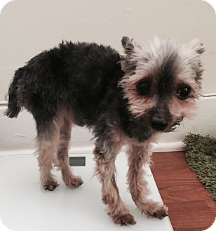 Yorkie, Yorkshire Terrier Mix Dog for adoption in Encino, California - Teddy
