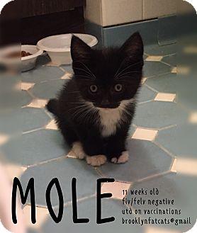 Domestic Shorthair Kitten for adoption in Brooklyn, New York - Mole