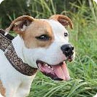 American Bulldog/Beagle Mix Dog for adoption in Louisville, Kentucky - Dani