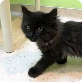 Domestic Longhair Kitten for adoption in Janesville, Wisconsin - Tickles