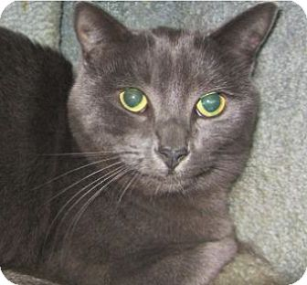 Domestic Shorthair Cat for adoption in Kingston, Washington - Heather