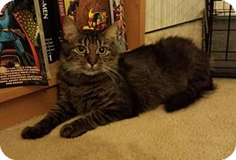 Maine Coon Cat for adoption in Absecon, New Jersey - Nala