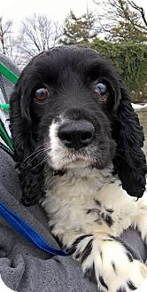 Cocker Spaniel Dog for adoption in Oak Ridge, New Jersey - Ukulele