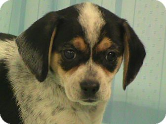 Rat Terrier/Beagle Mix Puppy for adoption in Maynardville, Tennessee - Leanne