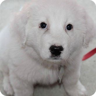 Great Pyrenees Mix Puppy for adoption in Kyle, Texas - Maggie