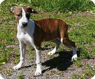 Whippet/Terrier (Unknown Type, Medium) Mix Puppy for adoption in Pennigton, New Jersey - Sira