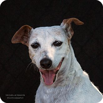 Jack Russell Terrier Mix Dog for adoption in Naperville, Illinois - Dottie