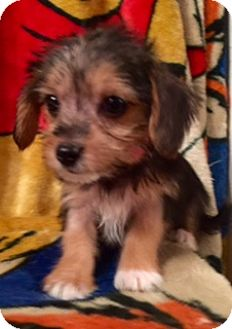Yorkie, Yorkshire Terrier/Beagle Mix Puppy for adoption in ST LOUIS, Missouri - Judy