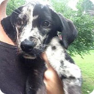 Catahoula Leopard Dog Mix Puppy for adoption in Cool Ridge, West Virginia - Audrey