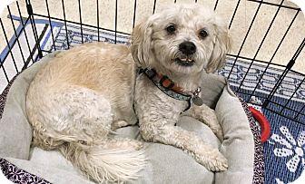 Lhasa Apso/Poodle (Miniature) Mix Dog for adoption in Phoenix, Arizona - Ben
