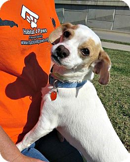 Jack Russell Terrier Mix Dog for adoption in McKinney, Texas - Peanut