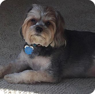 shih tzu rescue va lola adopted dog richmond va yorkie yorkshire 4213