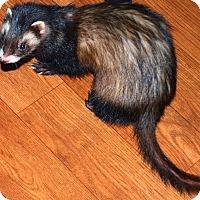 Ferret for adoption in Acworth, Georgia - Bella