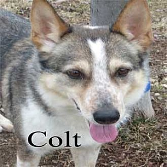 Husky/Shepherd (Unknown Type) Mix Dog for adoption in Warren, Pennsylvania - Colt