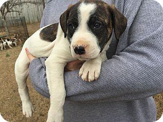 Boxer/Australian Shepherd Mix Puppy for adoption in Acworth, Georgia - Time - Magazine Litter