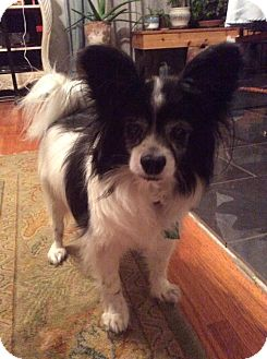 Papillon Mix Dog for adoption in Overland Park, Kansas - Rocco
