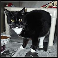 Domestic Shorthair Cat for adoption in Newport, North Carolina - Cassey