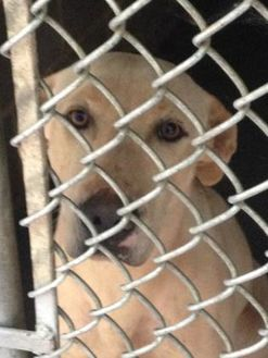 Labrador Retriever Mix Dog for adoption in Clarkesville, Georgia - Beau